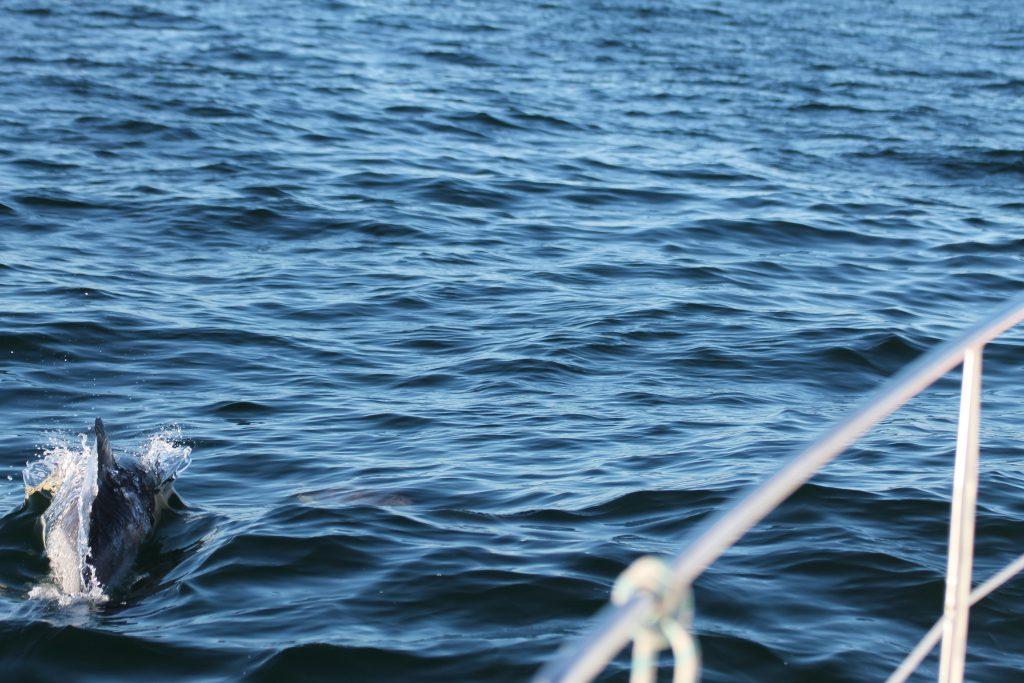 Delfiner svømmer med