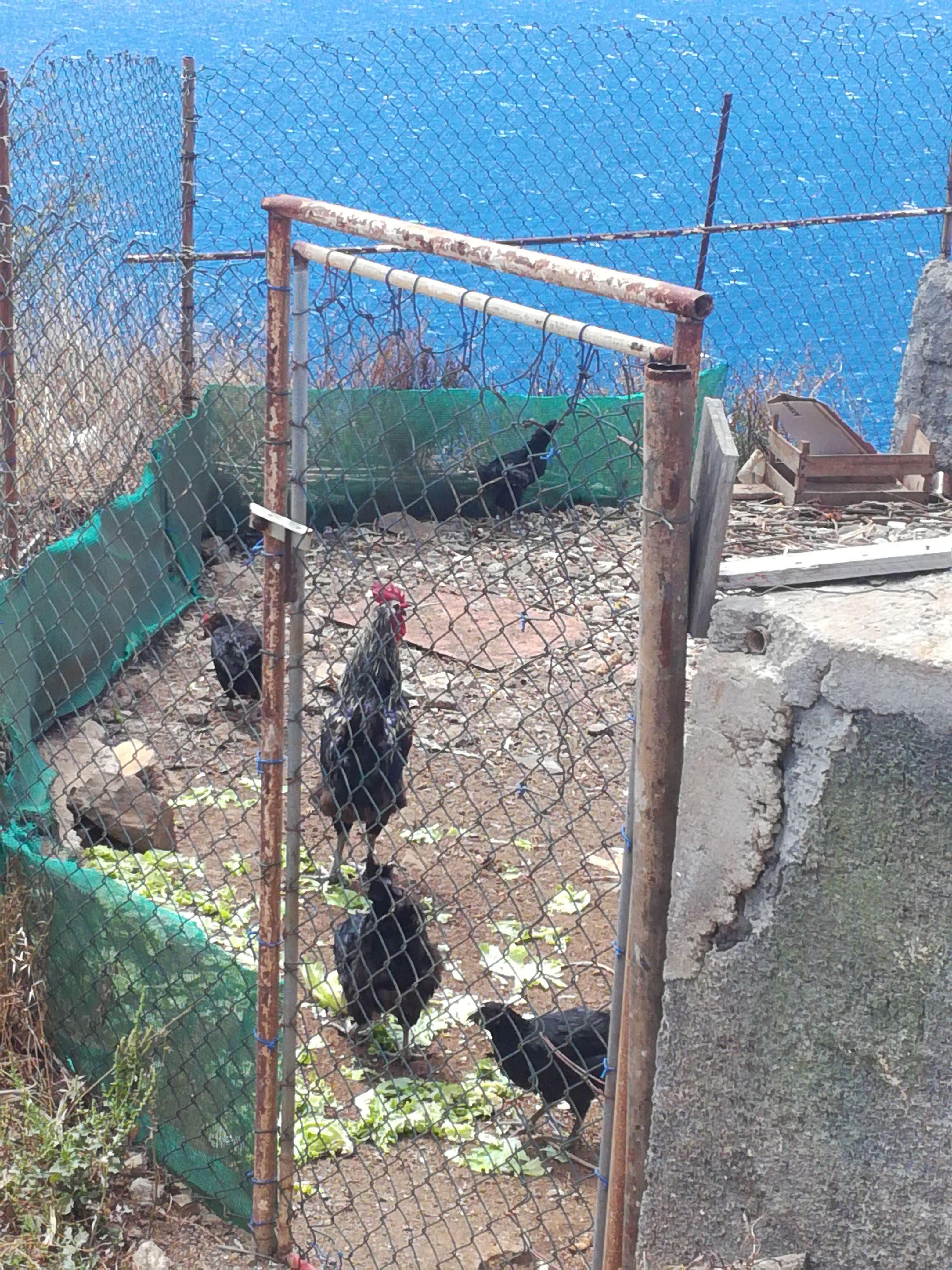 Hønsegård, Madeira