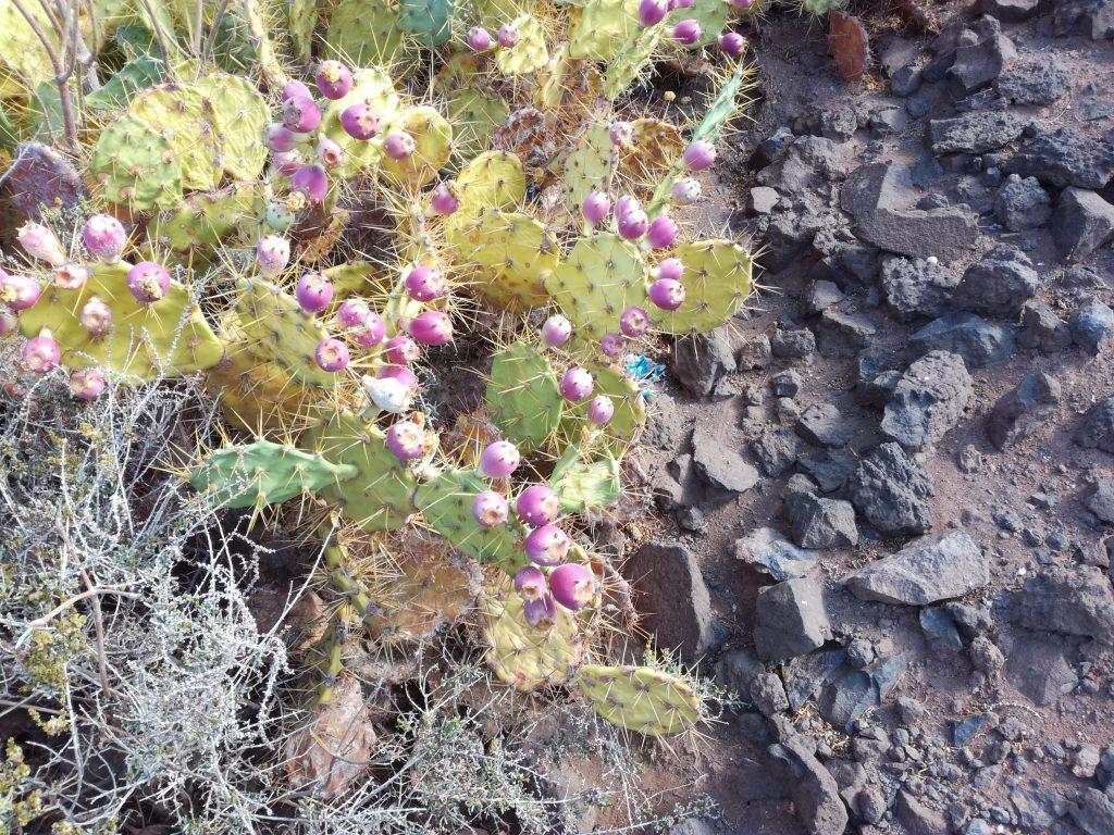 Kaktus frugter