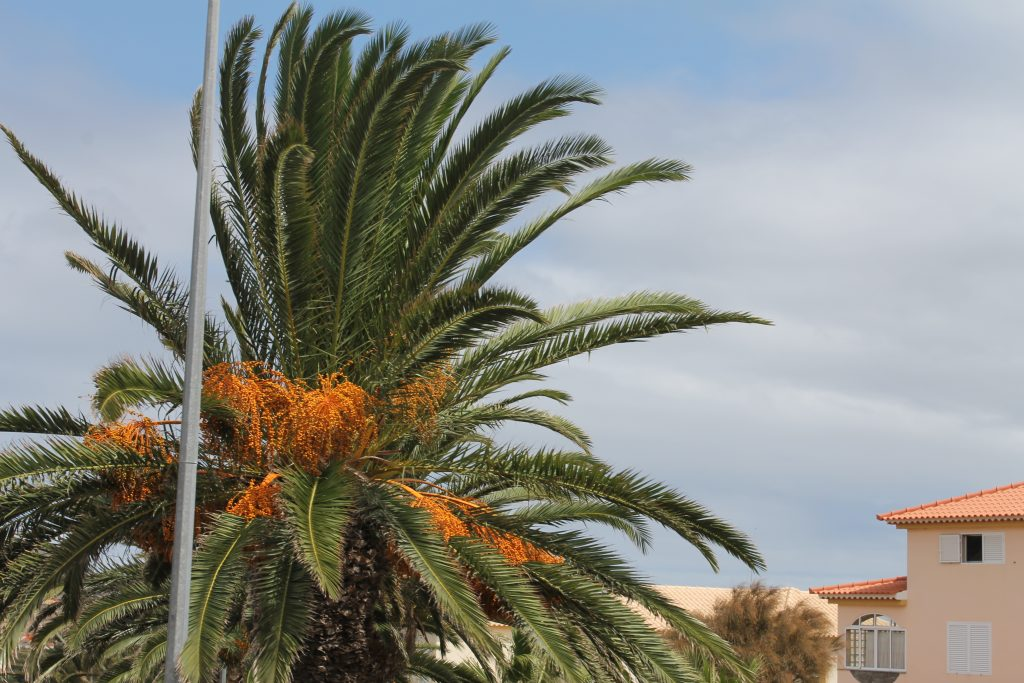 Dadel palme