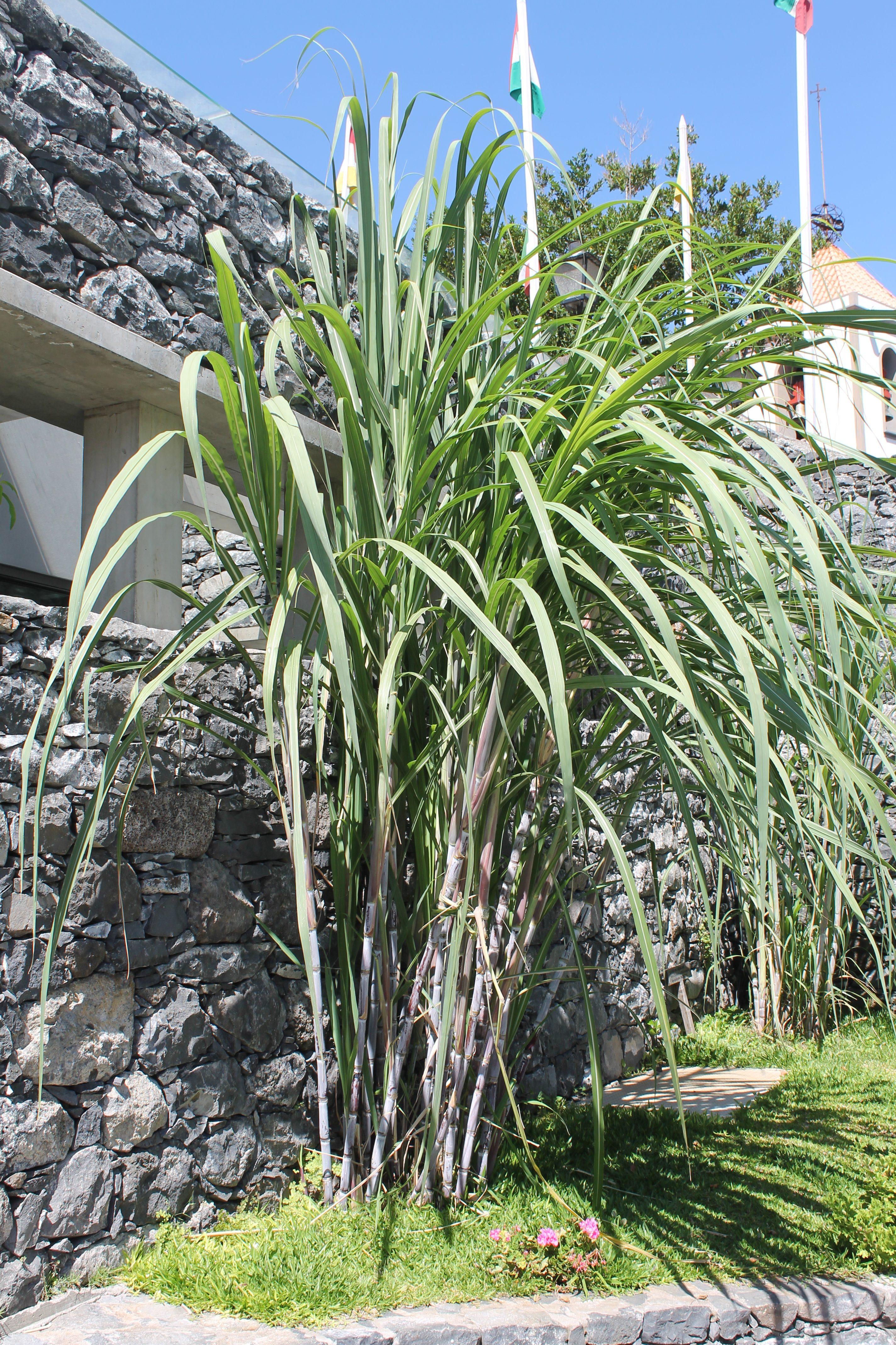 Sukkerrør