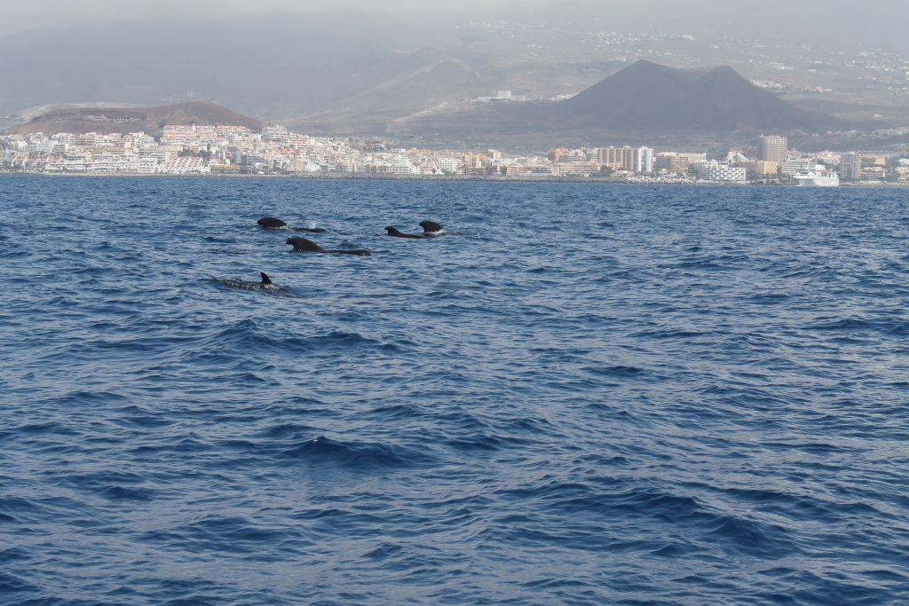 Hvaler ved Tenerife