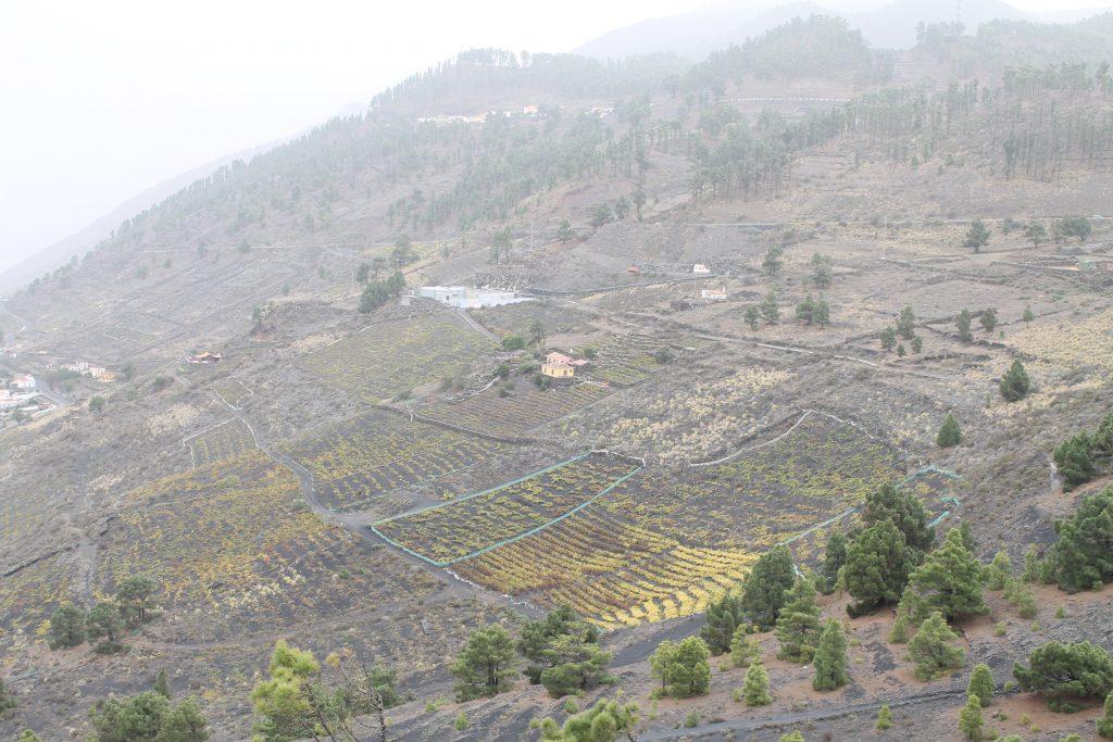 Vin dyrkning i vulkansk jord, La Palma