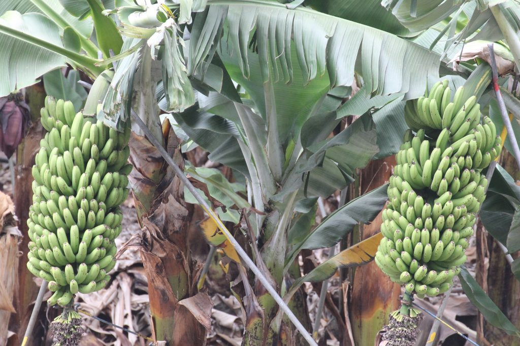 Bananplantager på La Palma