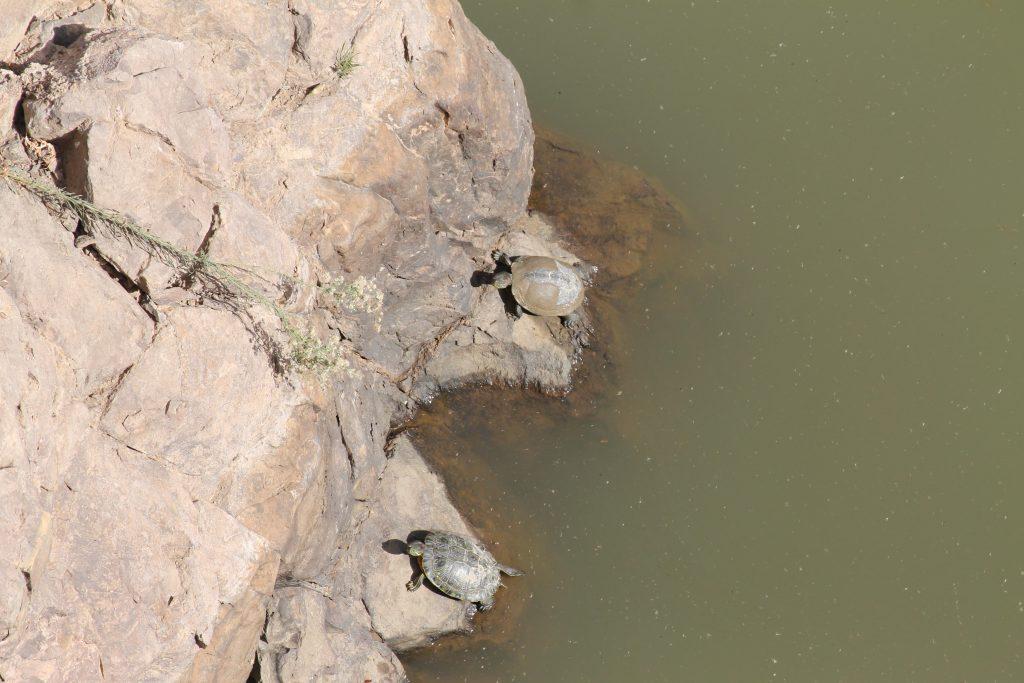 Skildpadder i det opdæmmede vand på Gran Canaria