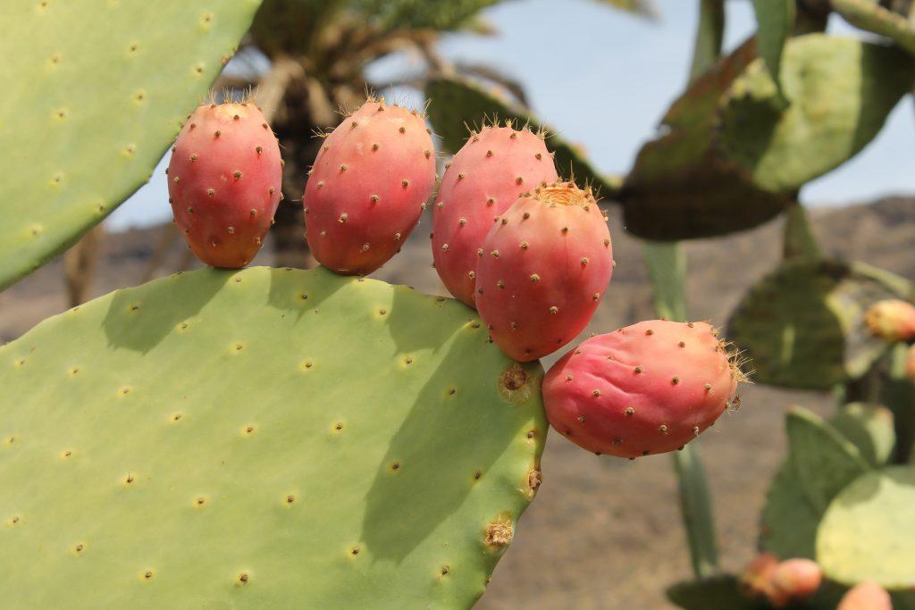 Kaktusfrugter på Gran Canaria