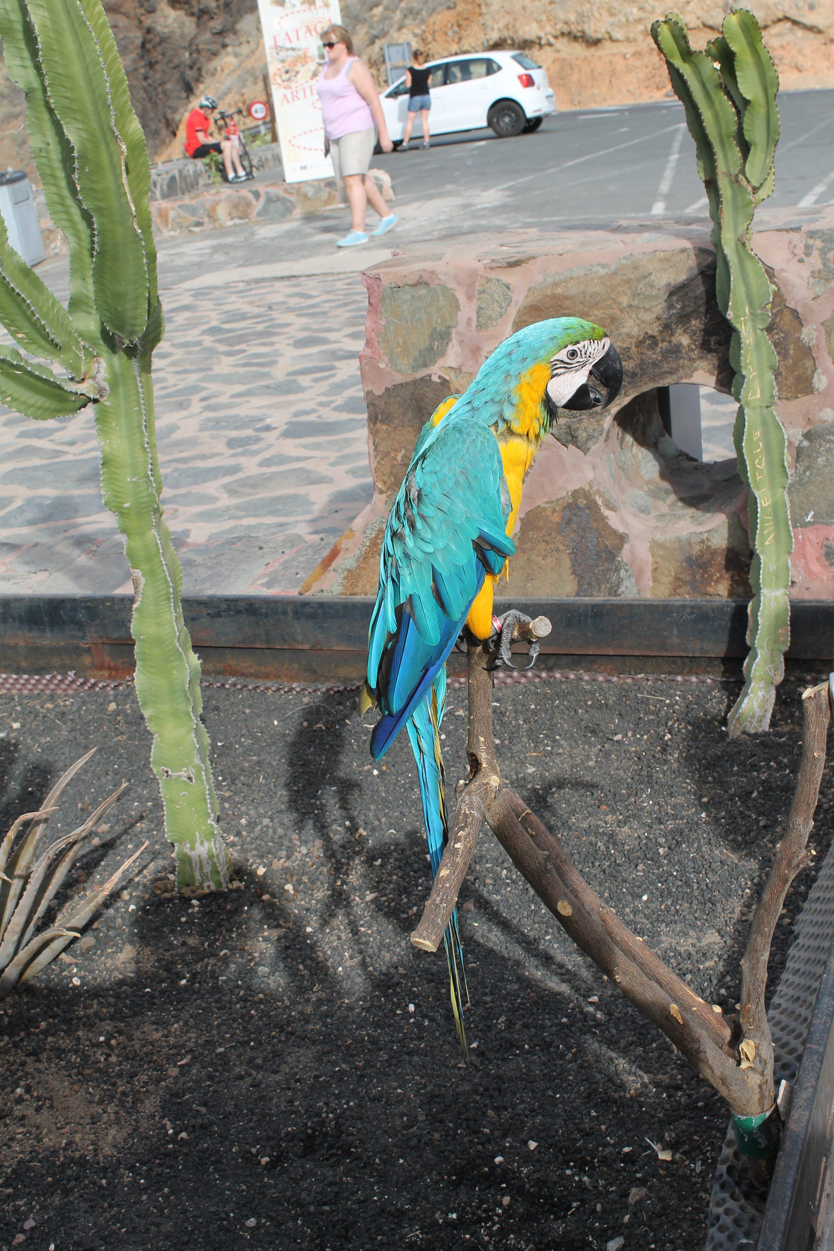Artist papegøje på Gran Canaria