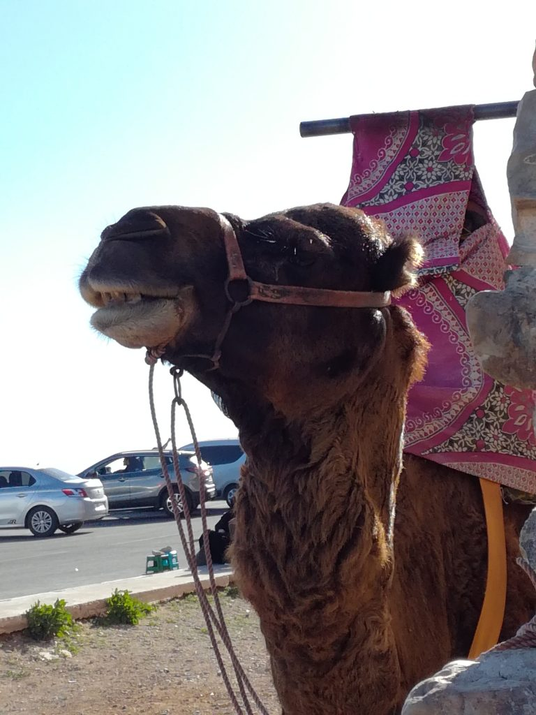 Kamel taxa
