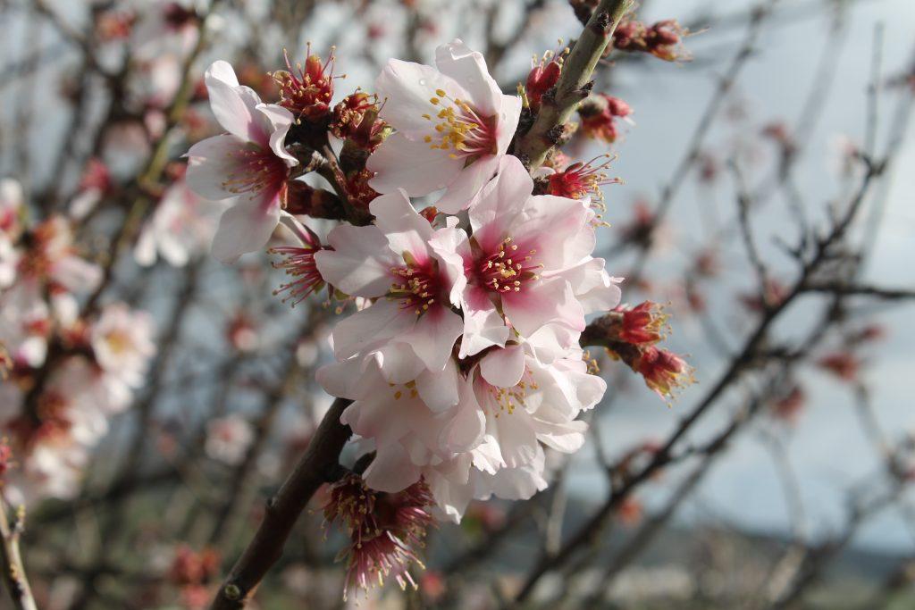 Mandeltræ i blomst
