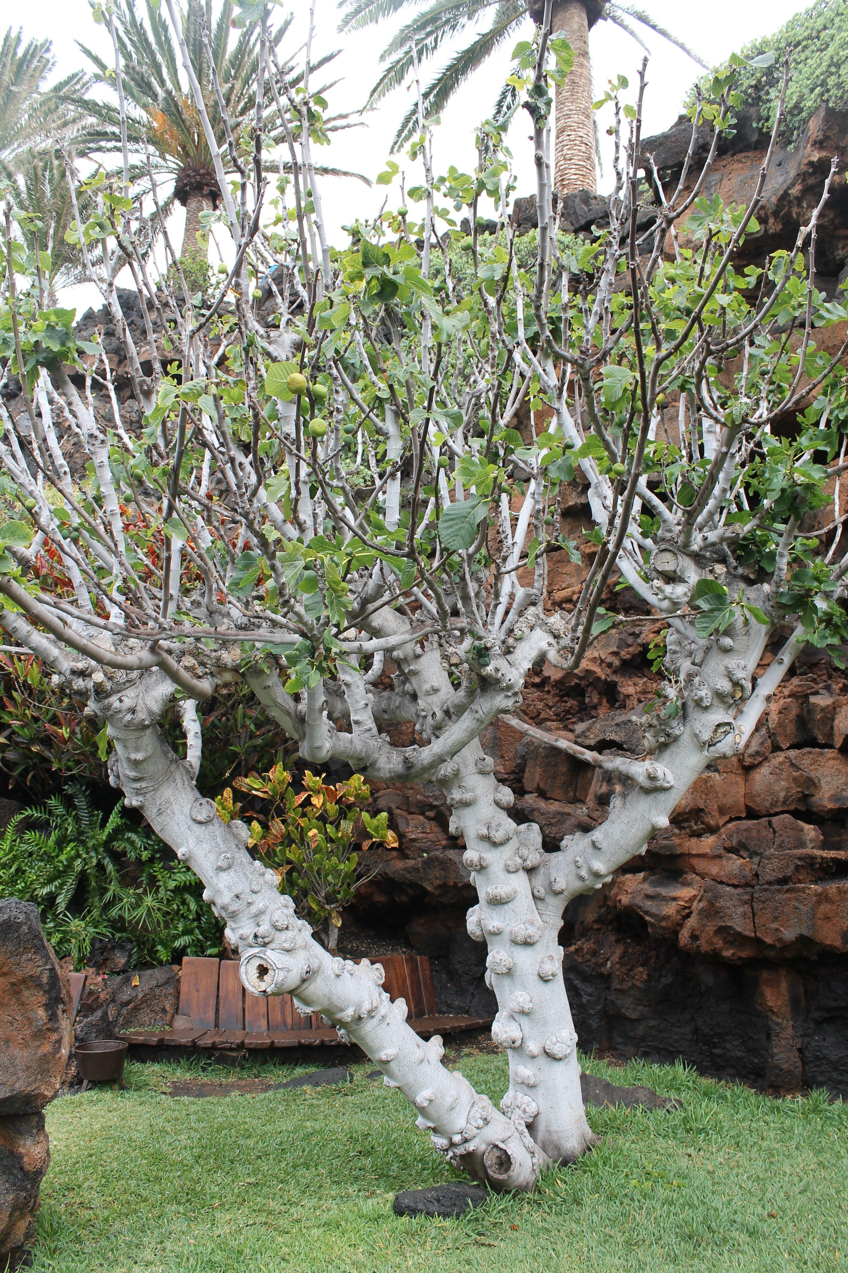 Figentræ