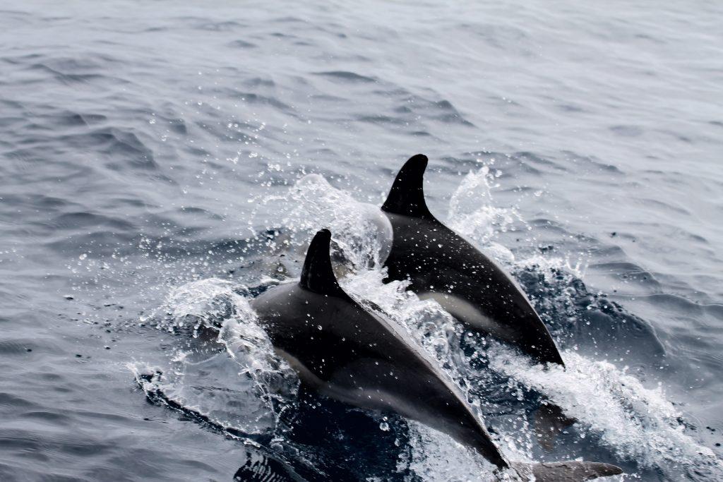 Delfiner i følge