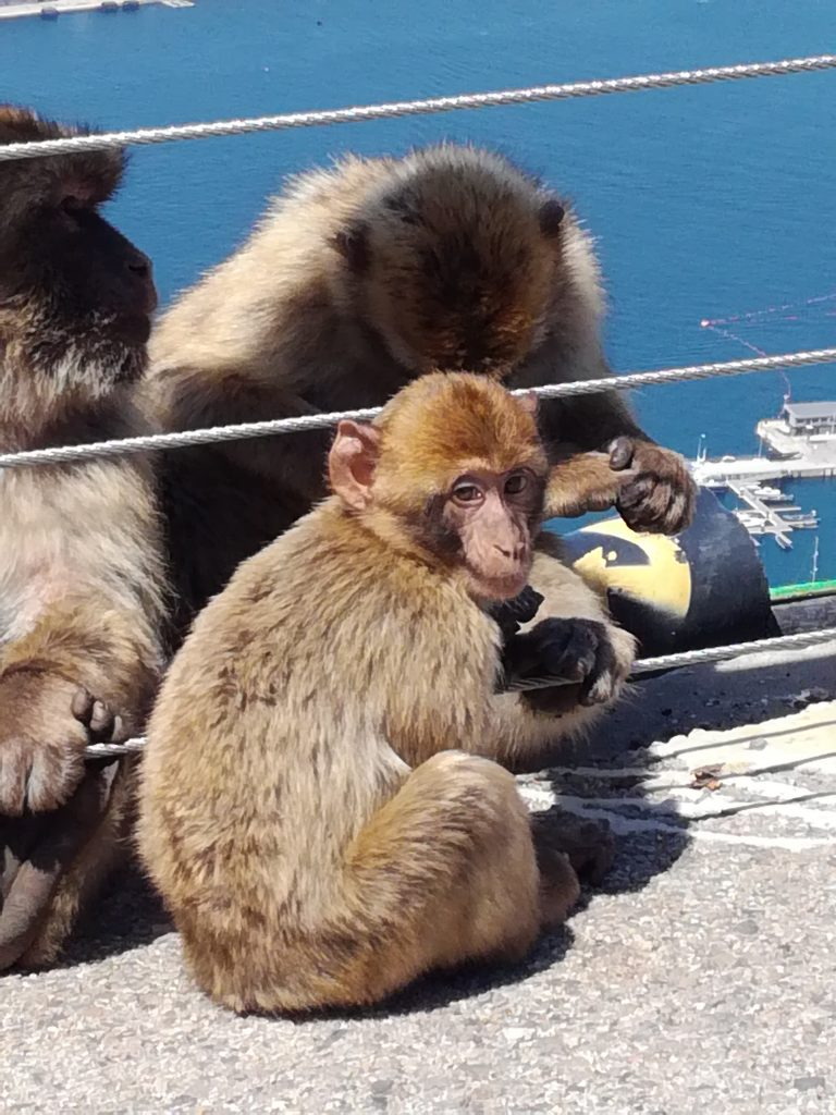 Aberne på Gibraltar klippen