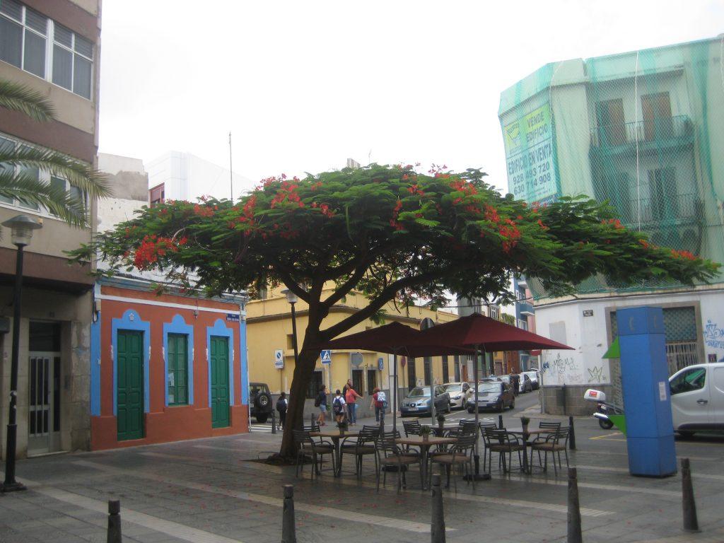 Flamboyant træ i Las Palmas