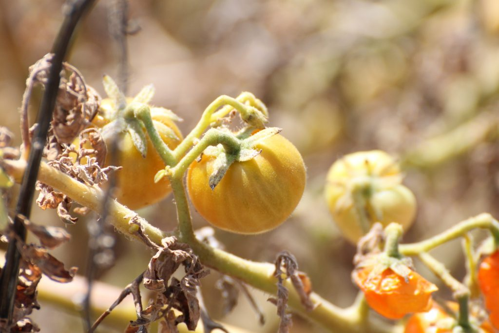 Vilde tomater i Salvagem Naturreservat