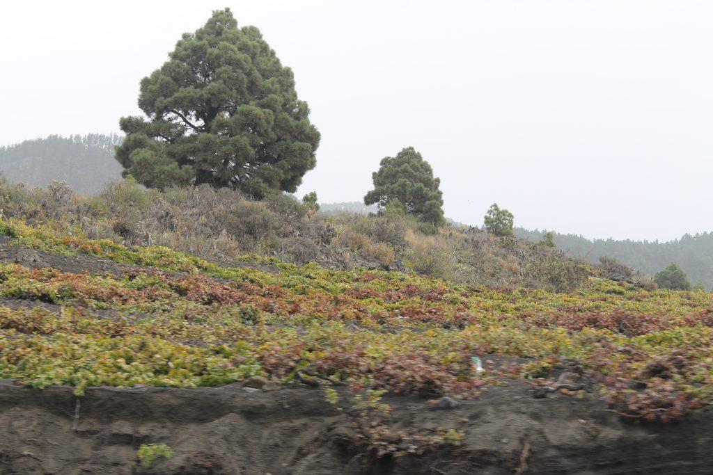 Vin på La Palma