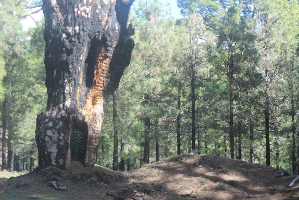 Afbrændte træer