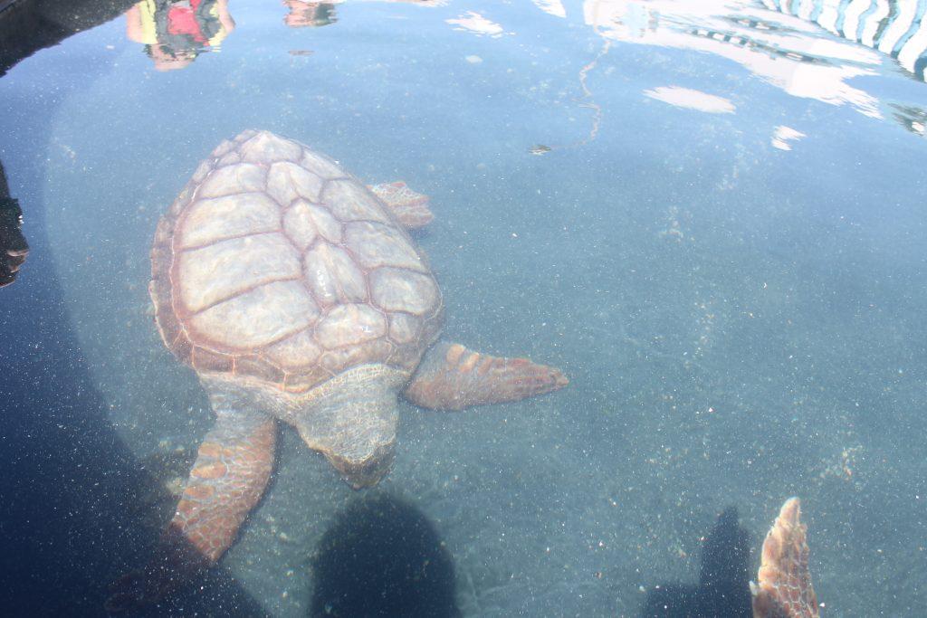 Skildpadde hospital i Morro Jable