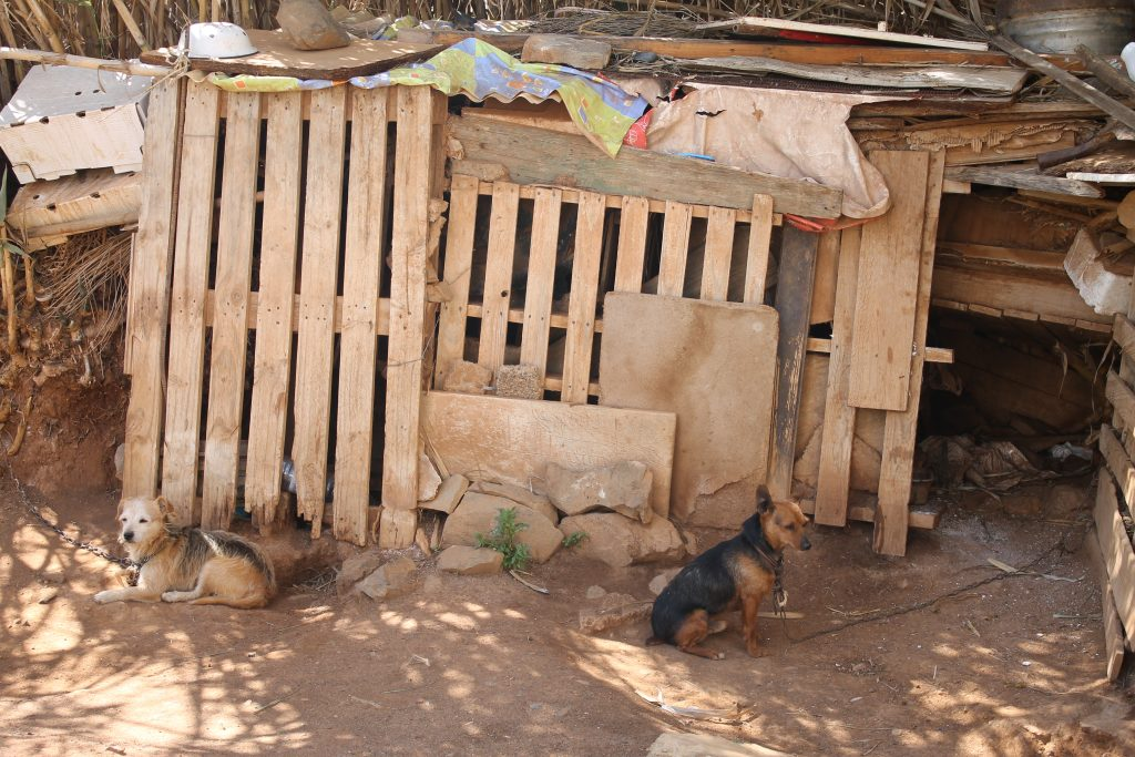 Lænkehunde i Betancuria