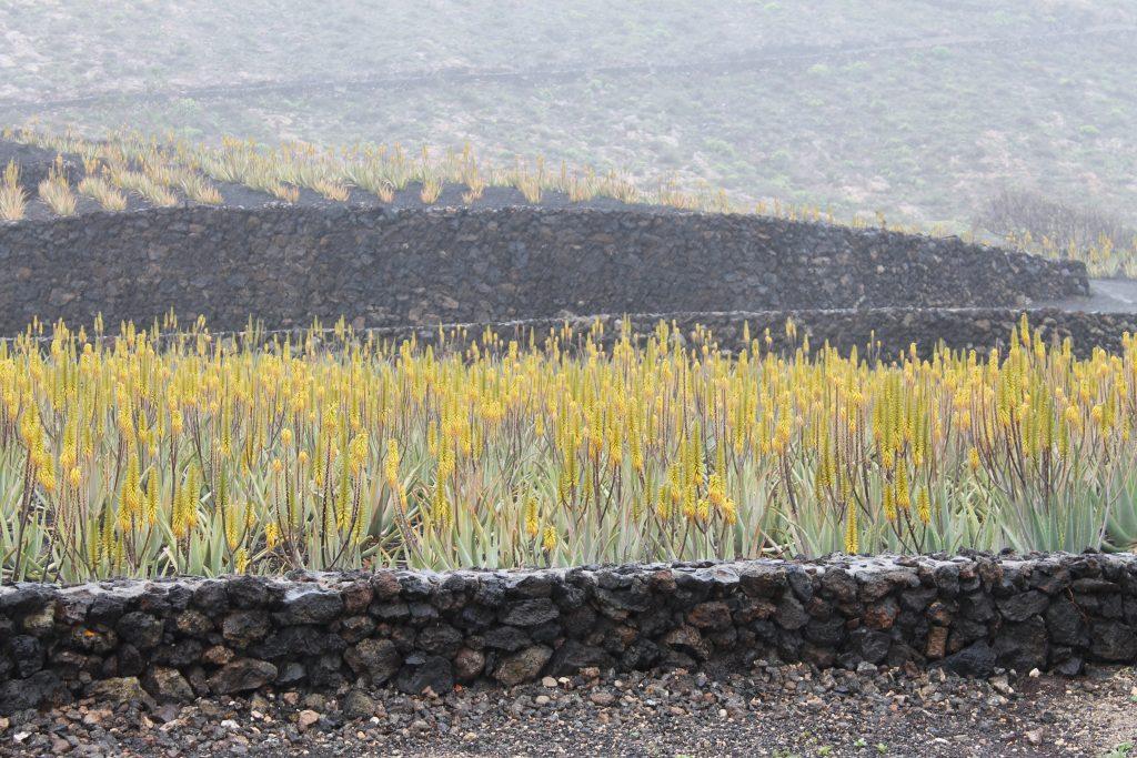 Aloe vera dyrkning
